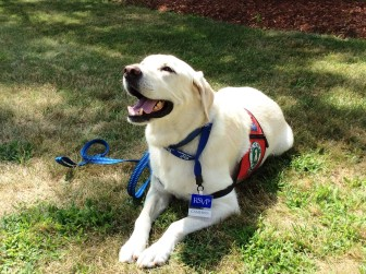 Cameron the volunteer service dog